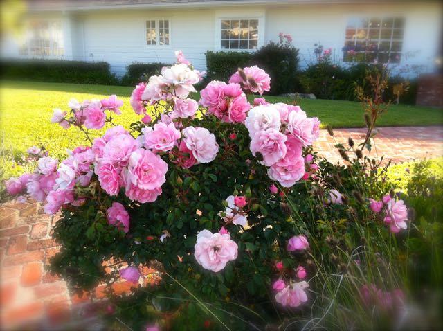 日本は桜が満開。春のロサンゼルスはバラやつつじが満開です