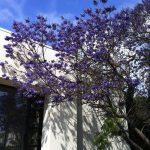 朝のジョギングで通った舗道に紫の絨毯ができていた。ジャカランダの季節