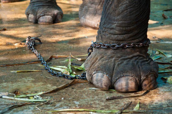elephantinchain